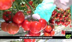 Maxeza F1 - pomidor gronowy