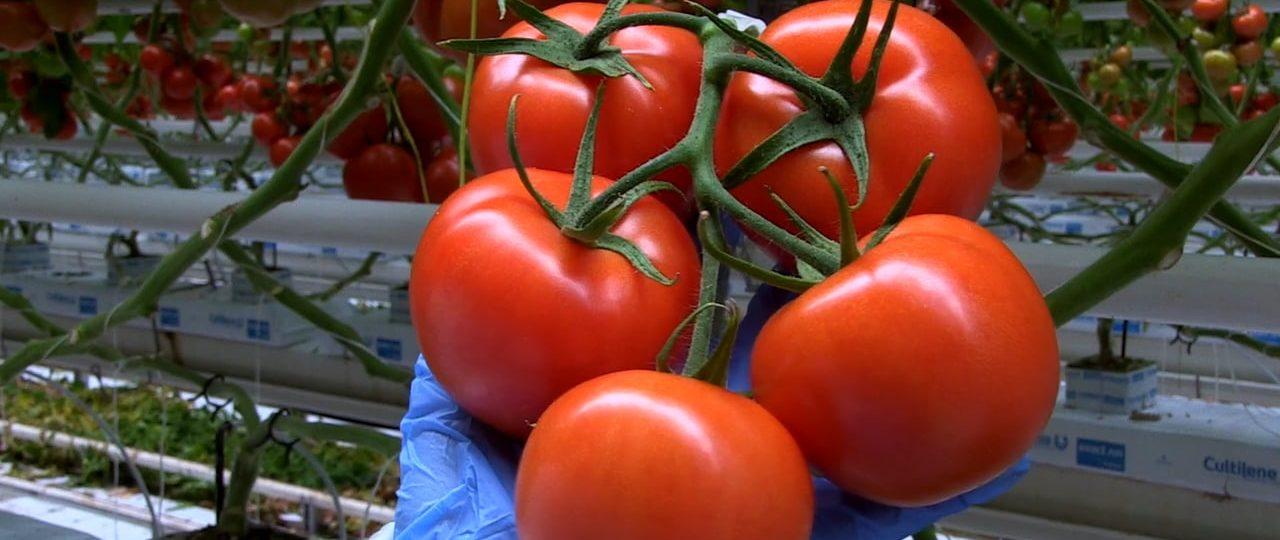 """HortiWizja (odc. 5) – Konferencja nt. uprawy pomidorów """"Advice to Advisors"""""""