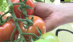 HortiWizja (odc. 7) - Pomidorowe nowości w Starych Marzach