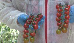 HortiWizja (odc. 8) - Pomidory koktajlowe i cherry z Siechnic
