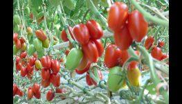 HortiWizja (odc. 9) - Dzień Pomidora w miejscowości Całowanie
