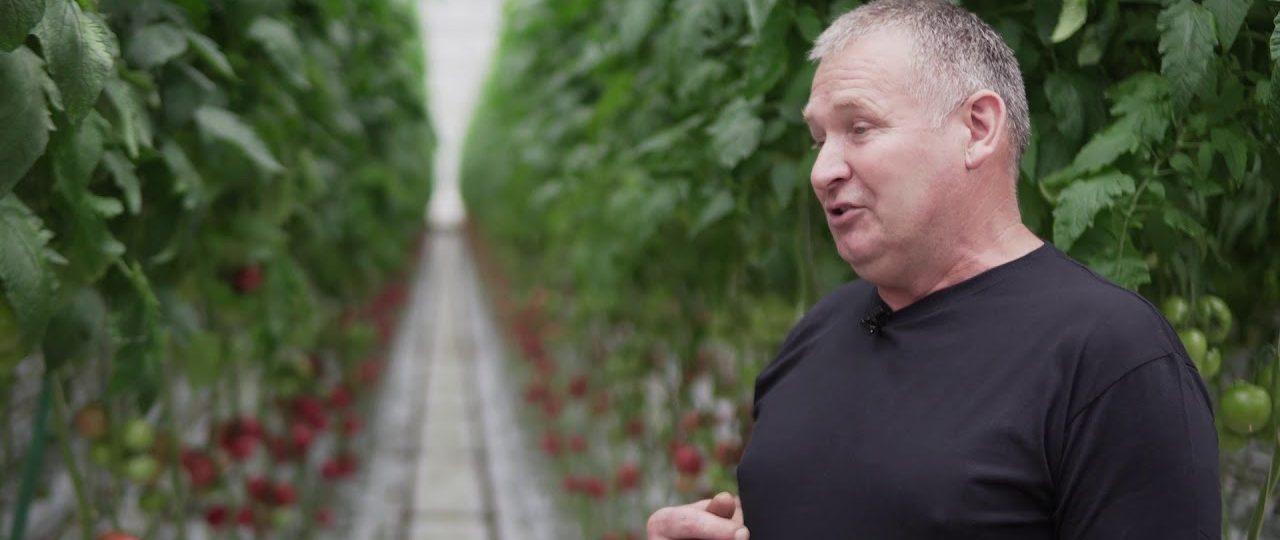 HortiWizja. Pomidor malinowy Katy Rose F1 – wczesny i smaczny
