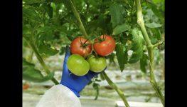 HortiWizja. Pomidor malinowy Enroza - charakterystyka, uprawa, ochrona