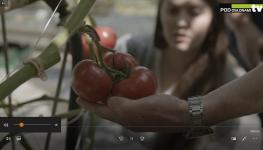 Pomidor malinowy Yarimaru w uprawie w Niezdowie
